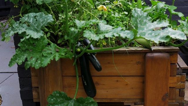 Aquaponics zucchini