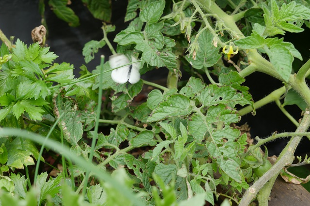 Butterfly over aquaponics tomato plants