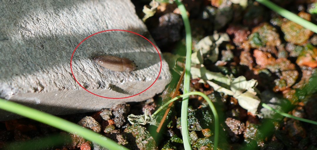 Slug under stone