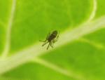 Spider on aquaponics silverbeet