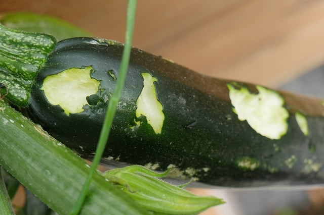 Zucchini attacked by birds zoom