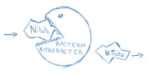 Nitrite transformed by nitrobacter bacteria into nitrate (nitrogen cycle)