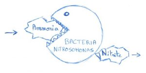 Ammonia transformed by nitrosomonas bacteria into nitrite (nitrogen cycle)