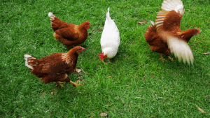 Chicken producing manure
