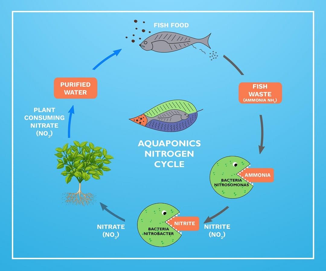 Aquaponics Nitrogen cycle