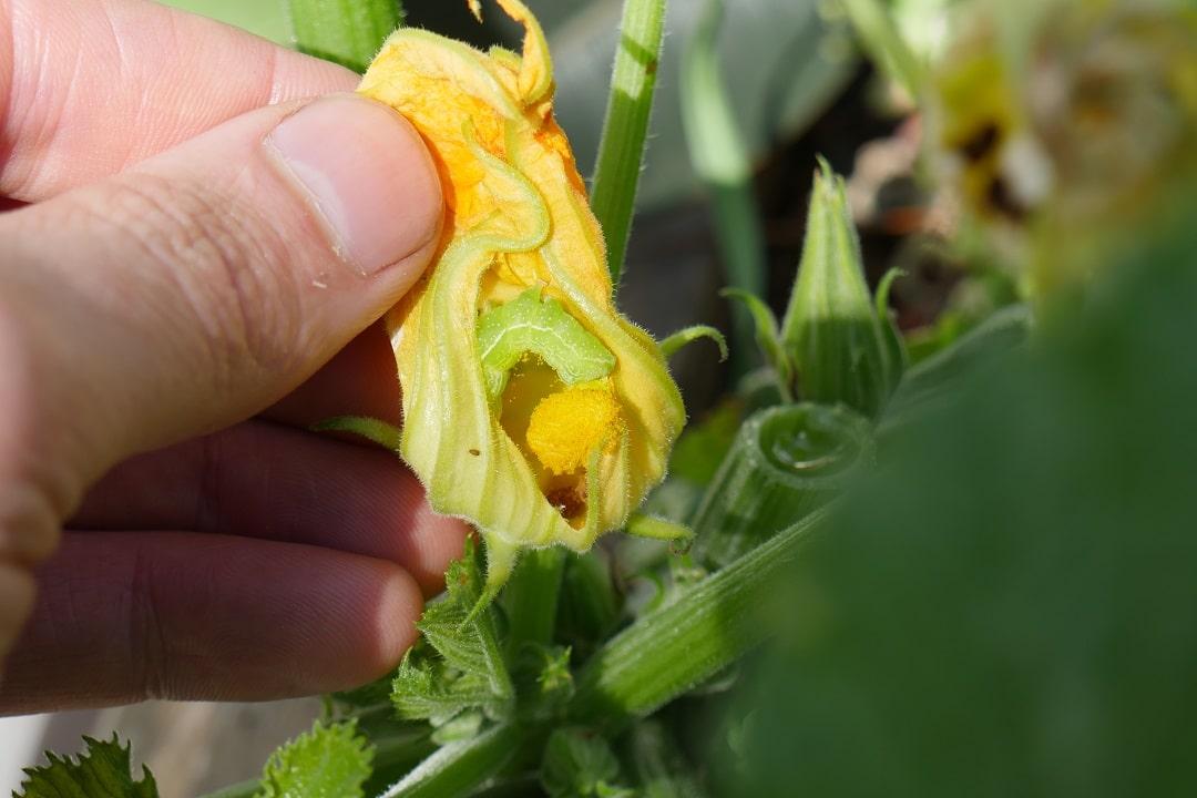 Caterpillar on Zucchini
