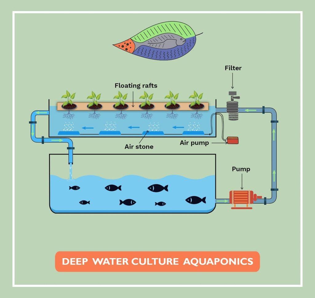 Deep Water Culture Aquaponics