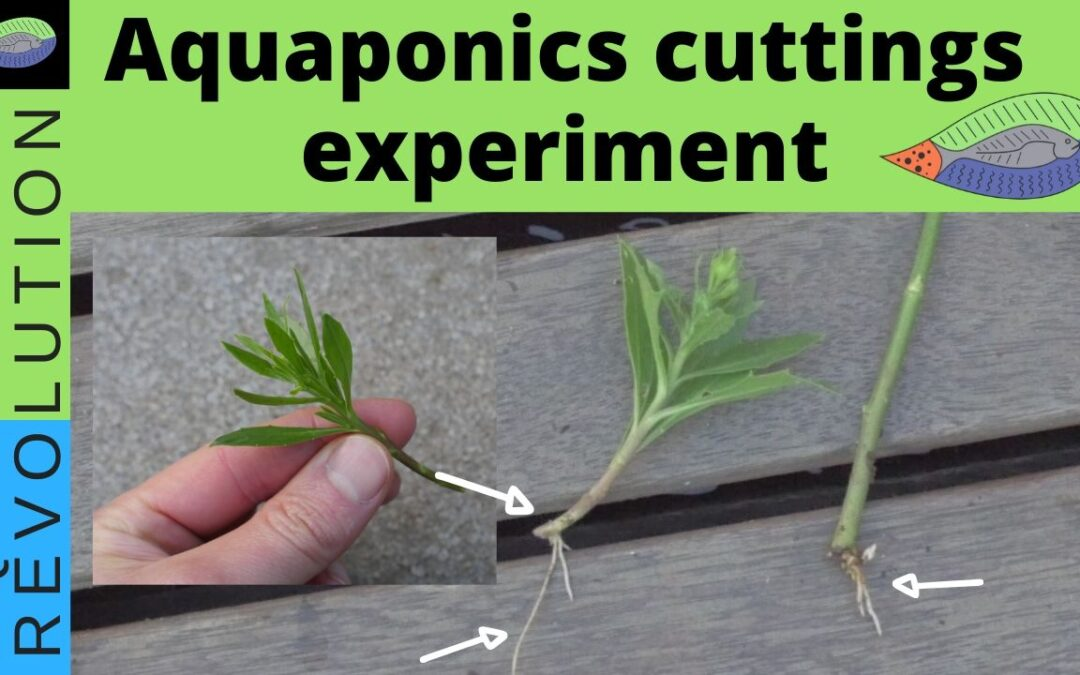 Aquaponics cuttings, easily propagate plants and trees.